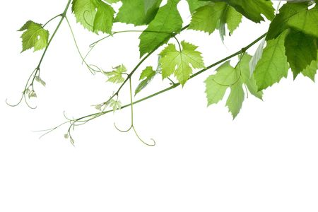 backdrop of grape or vine leaves isolated on white background.Please take a look at my other images of grape-leaves photo