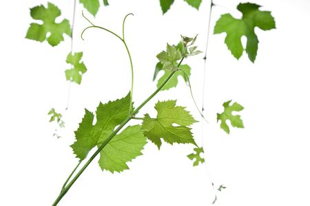 backdrop of grape or vine leaves isolated on white background.Please take a look at my other images of grape-leaves Stock Photo - 3197398