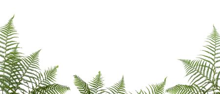 bborder of ferns ,isolated on white background,please have a look at my similar images about this theme