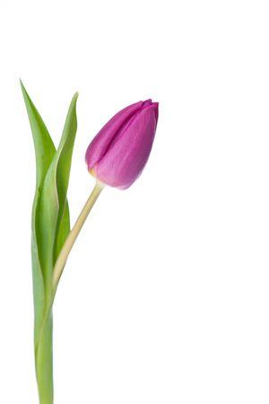 줄기: purple tulip isolated on a white background.please have a look at my other images about this subject