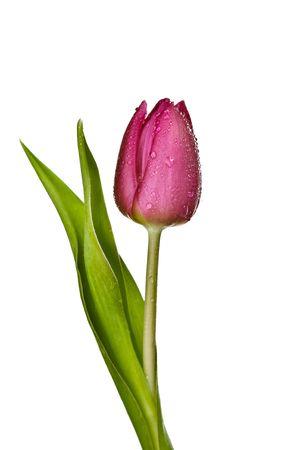 paarse tulp geïsoleerd op een witte background.please eens een kijkje op mijn andere foto's over dit onderwerp