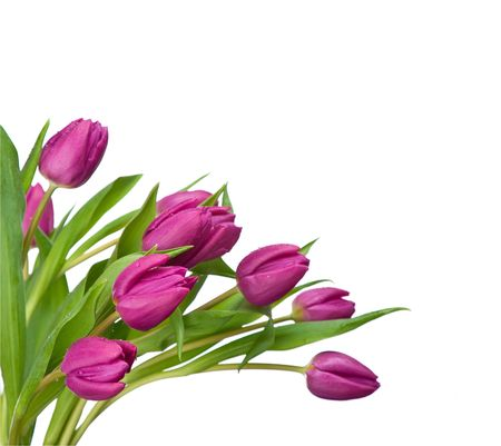 tulip flower: purple tulips isolated on a white background.please have a look at my other images about this subject