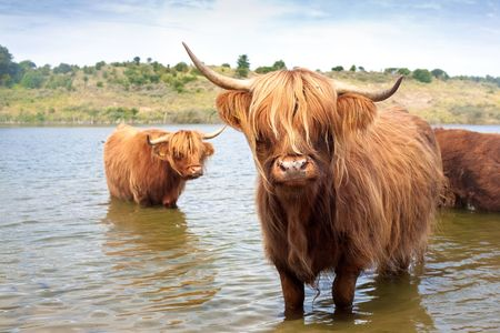 highlands region: cattle of scottisch highland cows  Stock Photo