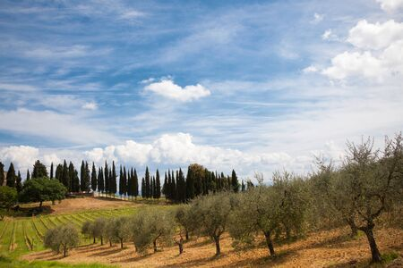 olive farm: typical italian countryside with olive-trees and cypres Stock Photo
