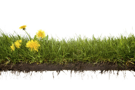 grass: cross-cut of grass with dandelion isolated on white background Stock Photo