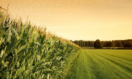 farm landscape: Cornfield with farmland  at sunset. Stock Photo