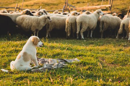 Puppy sheepdog dog watching a herd of sheep at sunset. Vintage editing 스톡 콘텐츠