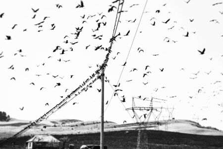 Birds on a wire. Several rooks, Corvus frugilegus, sitting on wire lines and flying around. Monochrome blurred image.
