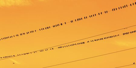 Birds on a wire. Crows or rook sitting in a row on a wire at sunset
