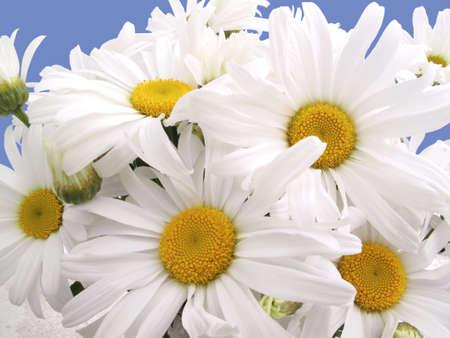 Fresh cut daisies Stock Photo - 5365364