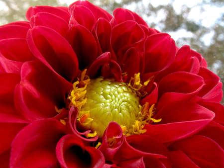 Close up view of beautiful red dahlia Stock Photo - 5365321