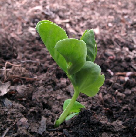 Tiny pea seedling emerging from the spring soil                                photo