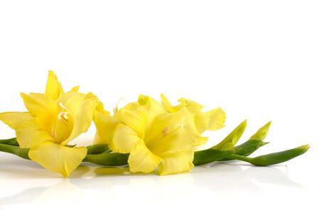 gladiolus: Beautiful, fresh yellow gladiolus spike on white reflective background