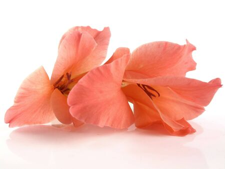 Beautiful coral gladiolus flowers that will stay in gamut when converting to cmyk