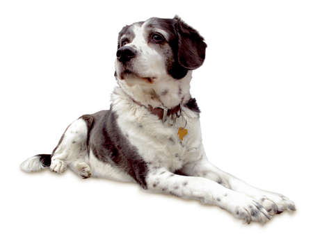 Faithful dog lies ever-watchful on a white background