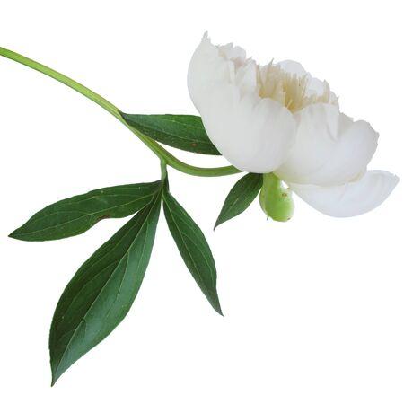 Perfect, fresh white peony on a white background