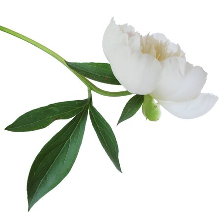 Perfect, fresh white peony on a white background