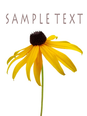 eyed: Isolated brown-eyed susan on white with sample text Stock Photo