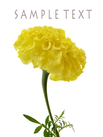 Stunning yellow marigold isolated on white