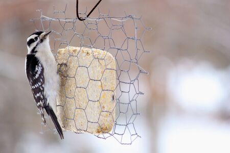 Female downy woodpecker clings to a wired cake of suet