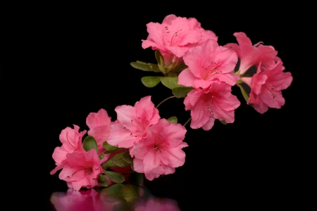 Stunning pink azalea branch on black photo