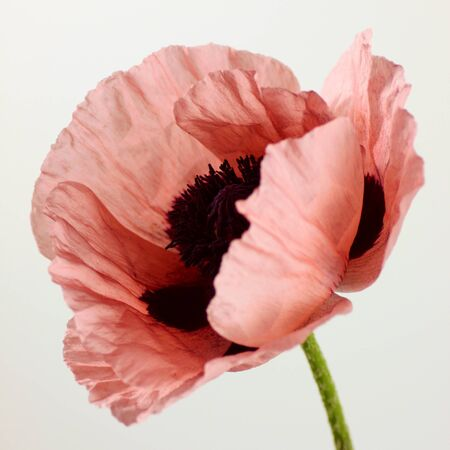 Magnificent close up shot of pink oriental poppy photo