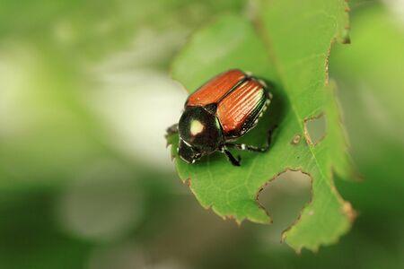 Japanese beetle, common garden pest, on rose bush Stok Fotoğraf