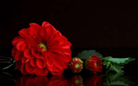 Stunning red dahlia with buds on black Reklamní fotografie