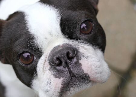 Young Boston Terrier Stock Photo