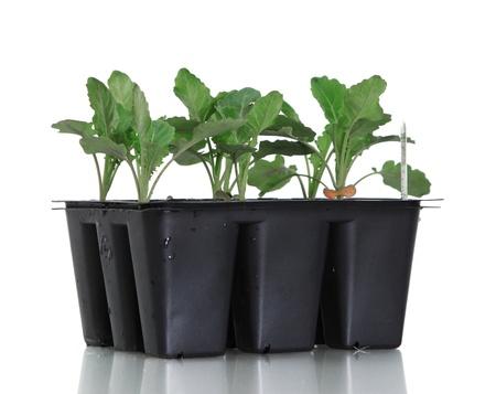 seeding: Broccoli bedding plants