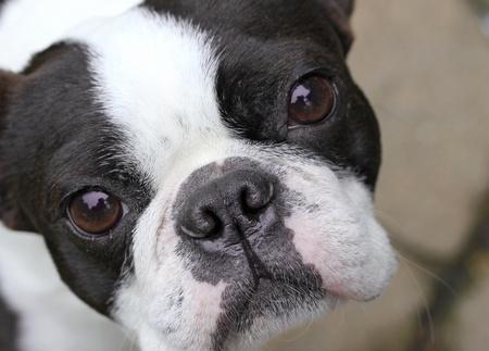 boston terrier: Young Boston Terrier Stock Photo