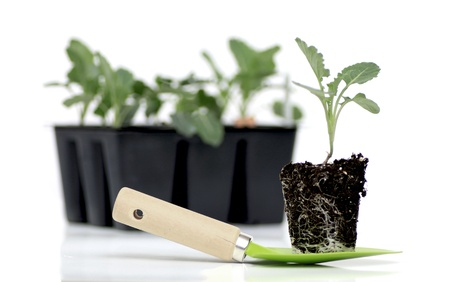 atop: broccoli seedling sits atop a small spade