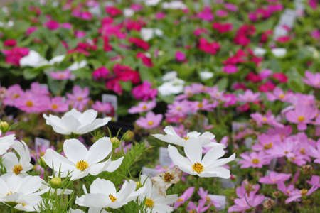 Beautiful array of colorful cosmos at the nursery
