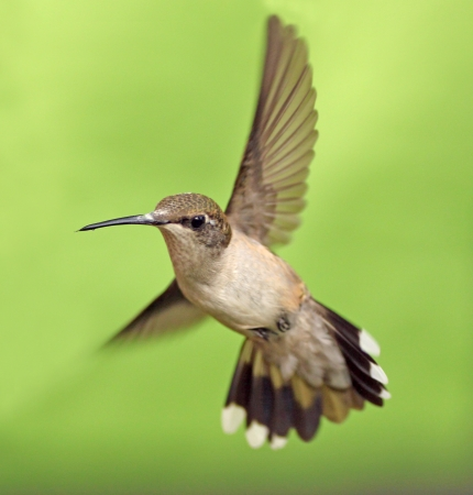 humming: Female ruby throated hummingbird in flight