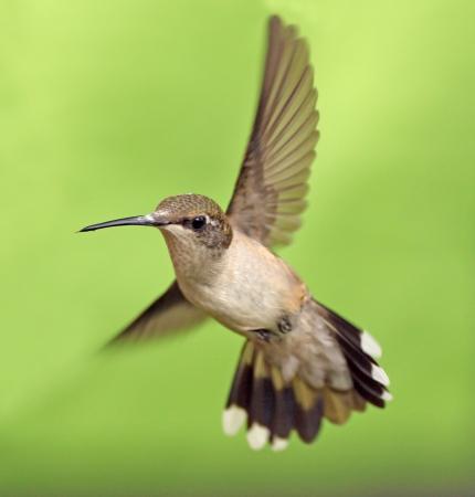 colibries: Mujer colibrí garganta de rubí en vuelo