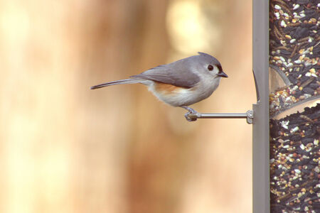 Titmouse at a feeding station