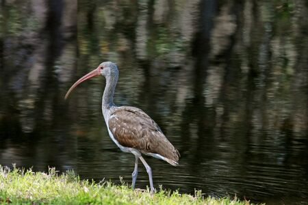 American white ibis strolls by the shore
