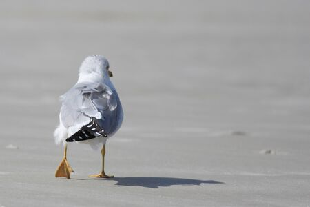 Pretty little sea gull walking on the beach