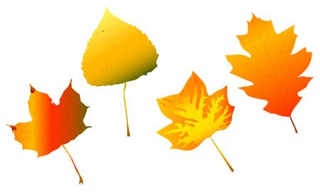 fall leaves: Various Fall Leaves Illustration