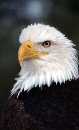 ornithology: Bald eagle Stock Photo
