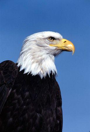 Bald eagle Фото со стока