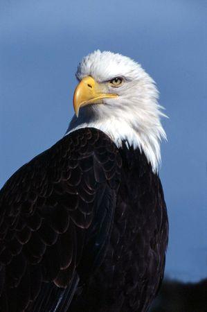 Bald eagle Stock Photo - 4895727