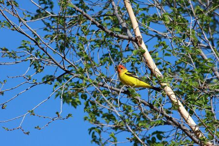 Western tanager Stock Photo - 4901451