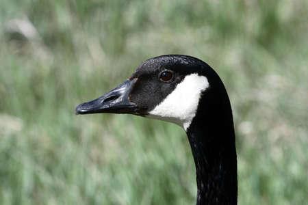 Canada goose close-up Banco de Imagens