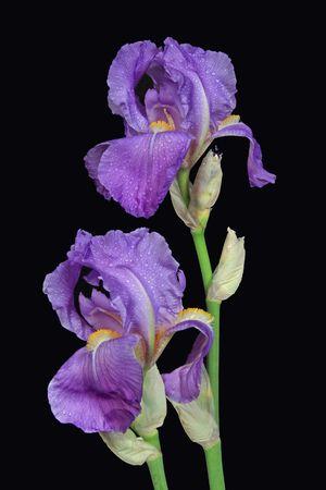 Twee blauwe iris op zwarte achtergrond