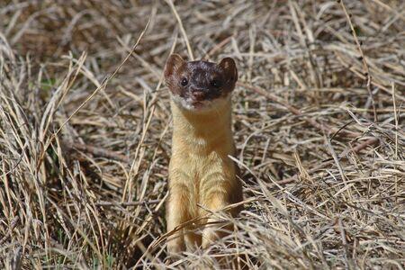 weasel: Long-tailed weasel