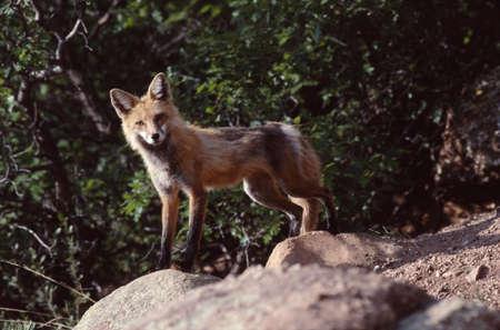 varmint: Red fox