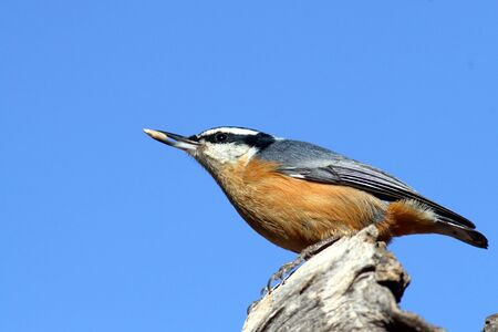 Red-breasted nuthatch Banco de Imagens