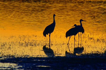Three sandhill cranes at sunset Banco de Imagens