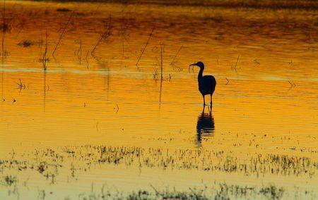 Sandhill crane at sunset Imagens